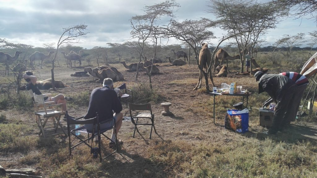 Camels on Soysambu